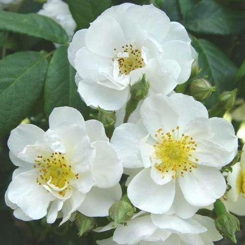 Rosa Rambling Rector - Future Forests
