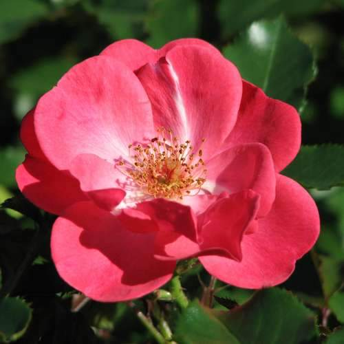 Rosa Red Blanket - Future Forests