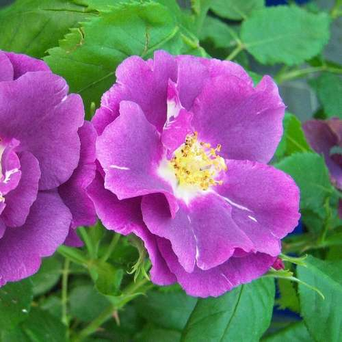 Rosa Rhapsody in Blue - Future Forests