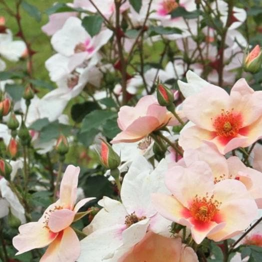 Rosa persica 'Smiling Eyes'