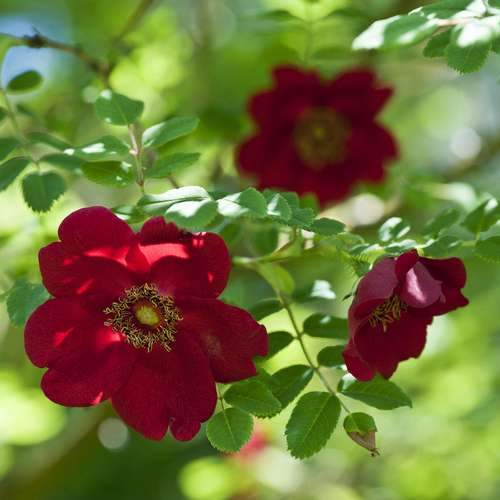 Rosa moyesii Geranium - Future Forests