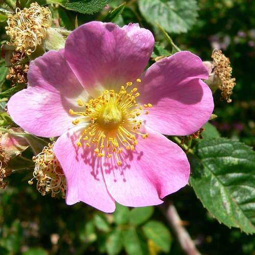 Rosa rubiginosa - Future Forests