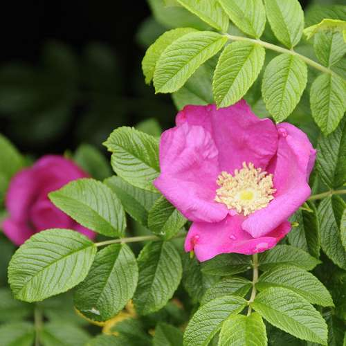 Rosa rugosa - Future Forests