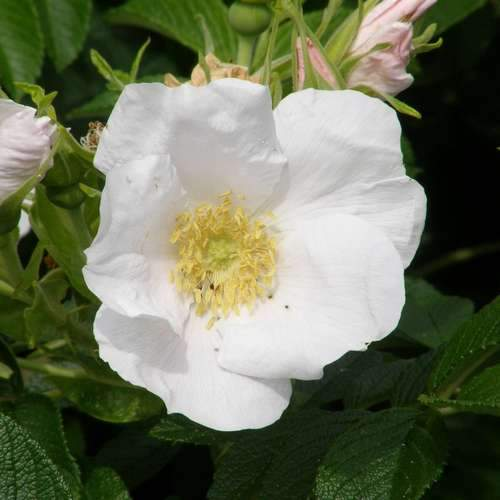 Rosa rugosa Alba - Future Forests