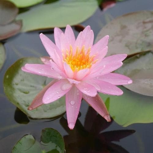 Nymphaea Rose Arey