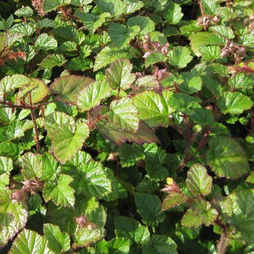Rubus tricolor - Future Forests