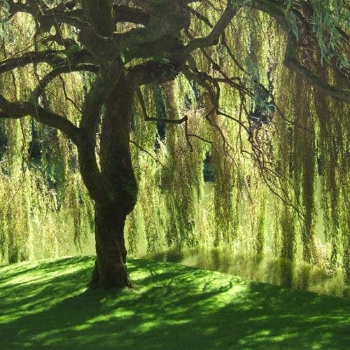 Salix babylonica pendula - Weeping Willow