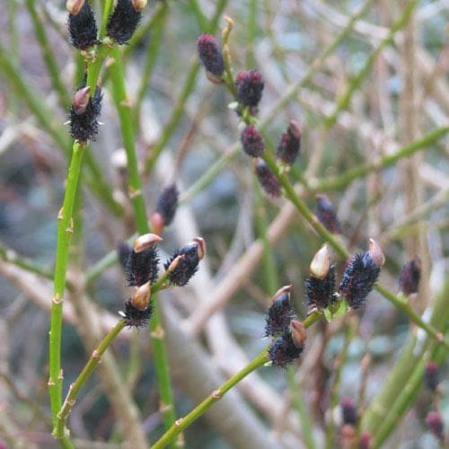 Salix gracilistyla Melanostachys - Future Forests