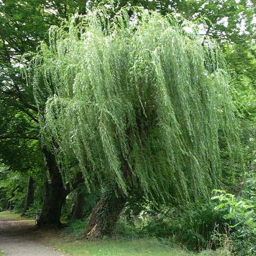 Salix alba Tristis - Golden weeping Willow