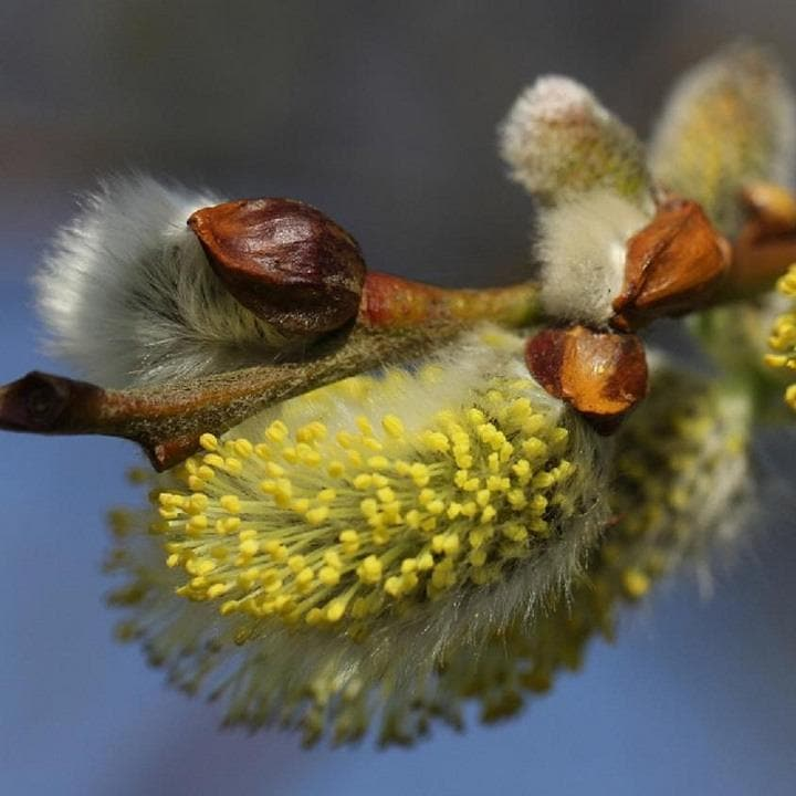 Salix caprea - Pussy Willow - Future Forests