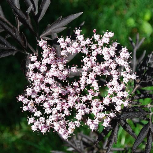 Sambucus nigra Black Lace - Future Forests
