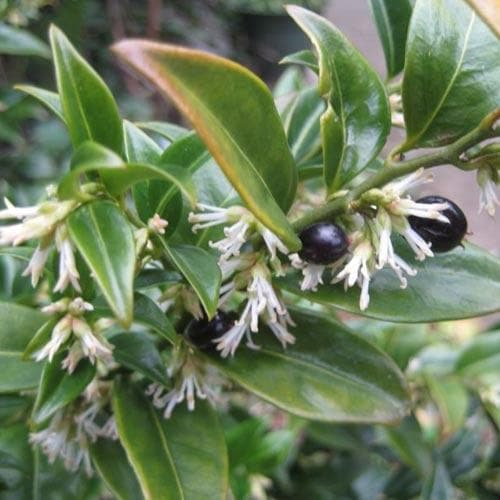 Sarcococca confusa - Future Forests
