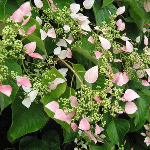 Schizophragma hydrangeoides 'Roseum' - Future Forests