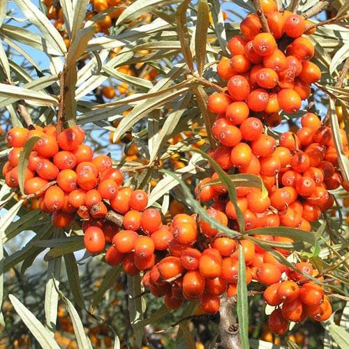 Hippophae rhamnoides Hergo - Sea Buckthorn (female) - Future Forests
