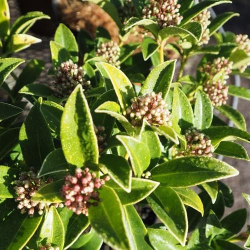 Skimmia japonica Godrie's Dwarf - Future Forests