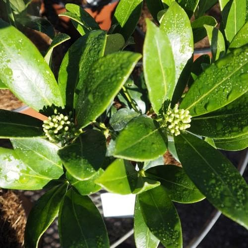 Skimmia japonica Kew White - Future Forests