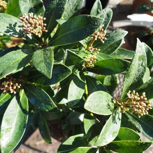 Skimmia japonica Nymans - Future Forests