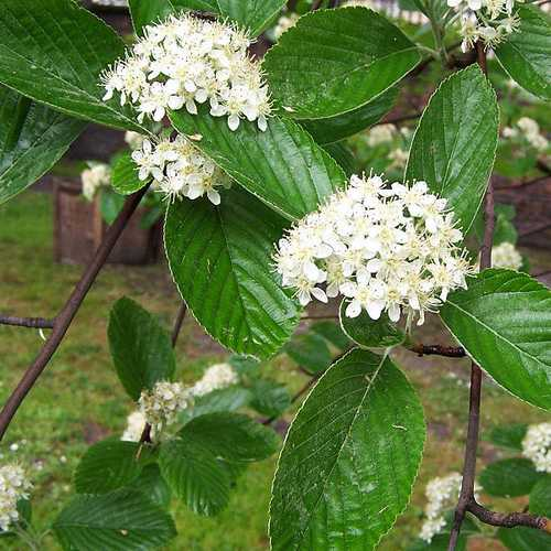 Sorbus aria - Whitebeam - Future Forests