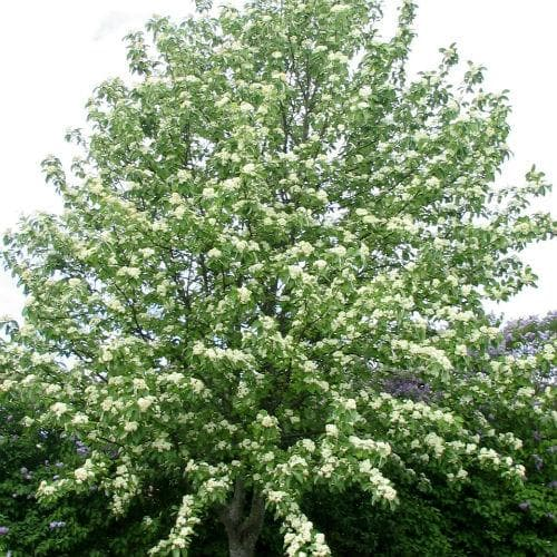 Sorbus Aria Lutescens - Future Forests