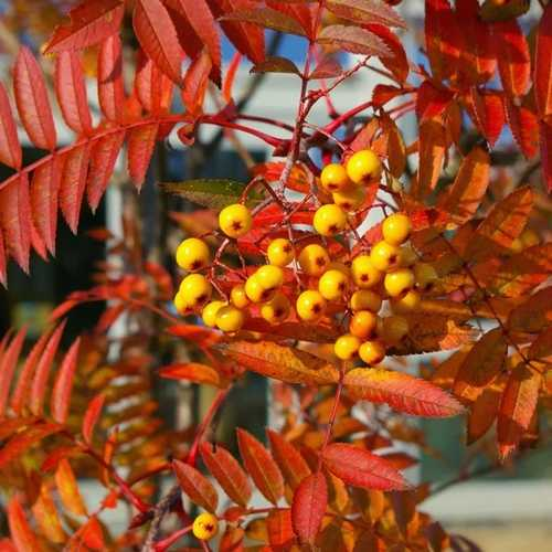 Sorbus Copper Kettle - Future Forests
