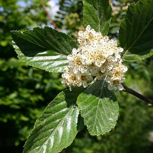 Sorbus aria Majestica - Future Forests