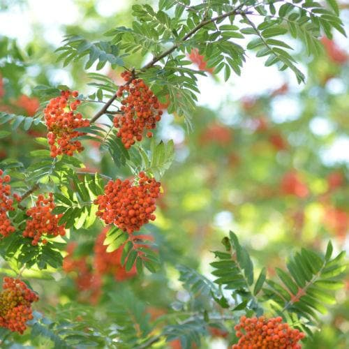 Sorbus aucuparia - Rowan - Future Forests