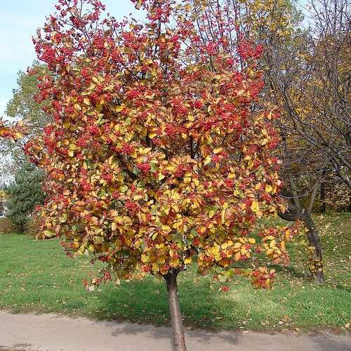 Sorbus x intermedia - Swedish Whitebeam - Future Forests