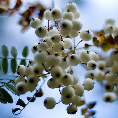 Sorbus prattii - Future Forests
