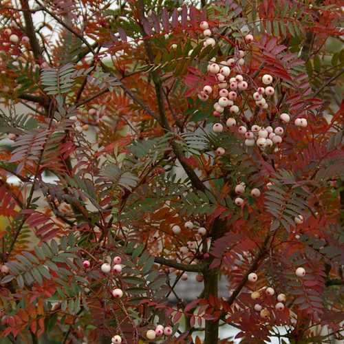 Sorbus vilmorinii - Future Forests