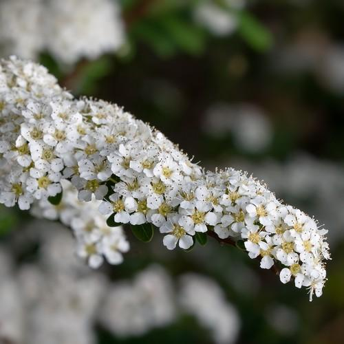 Spiraea arguta - Future Forests