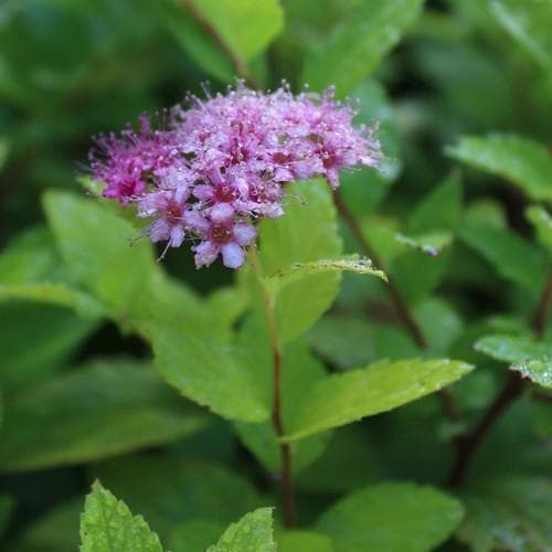 Spiraea japonica Gold Mound - Future Forests