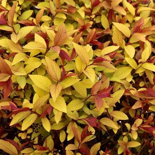 Spiraea japonica Goldflame - Future Forests