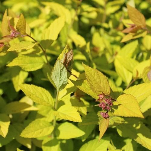 Spiraea japonica Little Princess - Future Forests