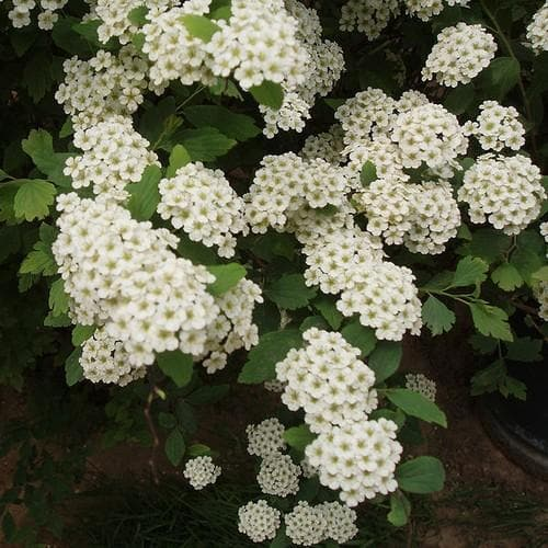 Spiraea nipponica June Bride - Future Forests