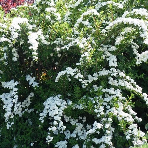 Spiraea nipponica Snowmound - Future Forests