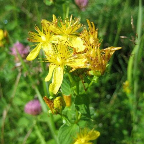 St. John's Wort - Future Forests