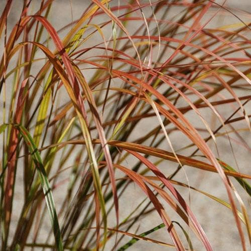 Stipa arundinacea - Future Forests