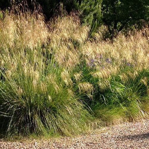 Stipa gigantea - Future Forests