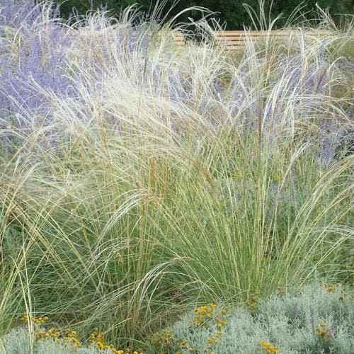 Stipa tenuissima - Future Forests