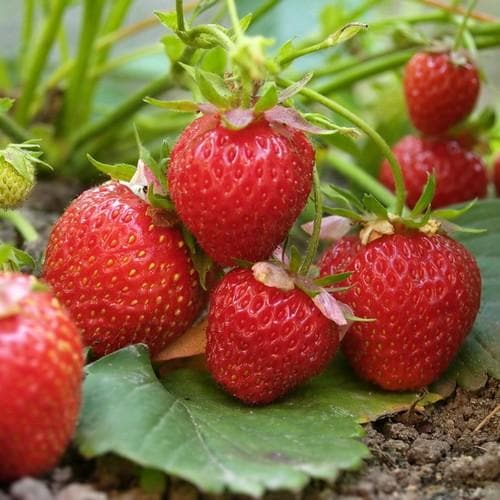 Strawberry Elsanta - Future Forests