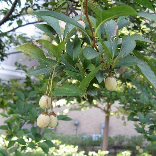 Styrax japonica - Japanese Snowbell
