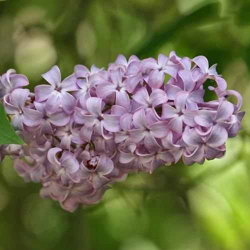 Syringa vulgaris - Future Forests
