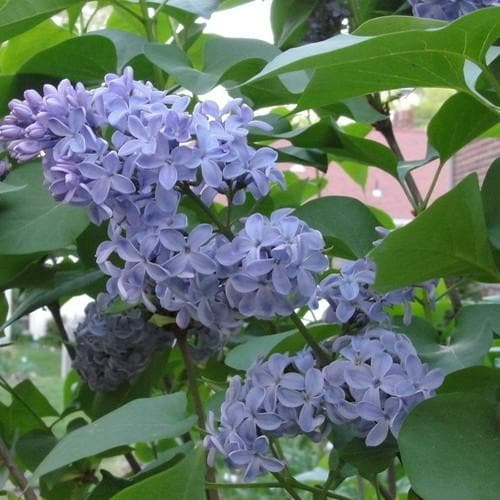 Syringa vulgaris Carpe Diem - Future Forests