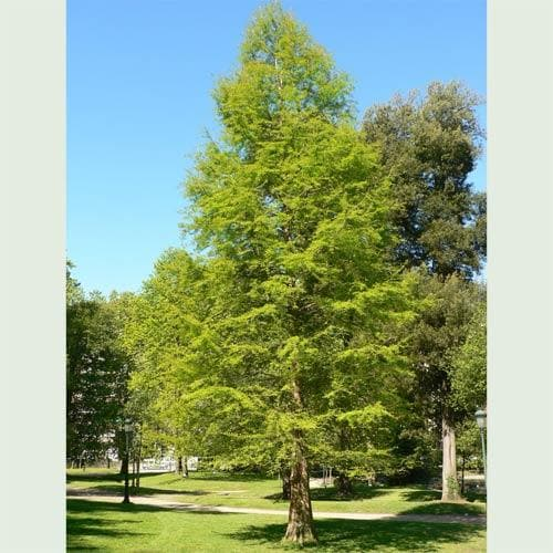 Taxodium distichum - Future Forests
