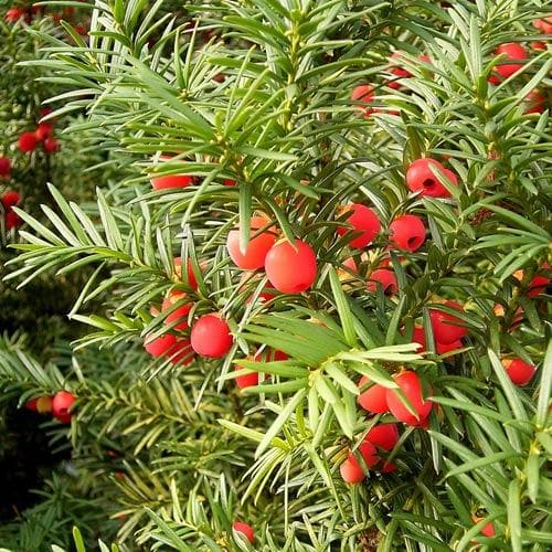 Taxus baccata - Yew - Future Forests