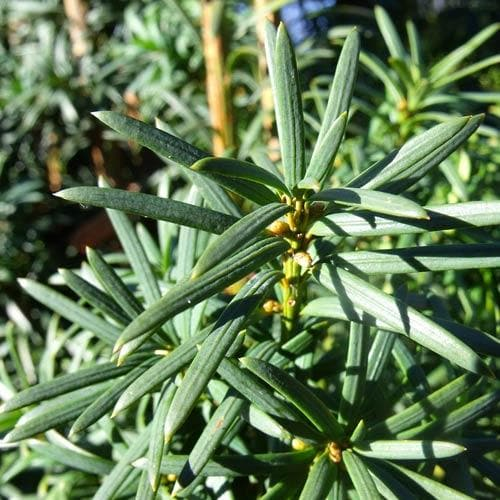 Taxus baccata - Future Forests