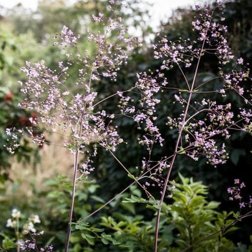 Thalictrum rochebrunianum - Future Forests