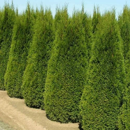 Thuja occidentalis Smaragd - Future Forests