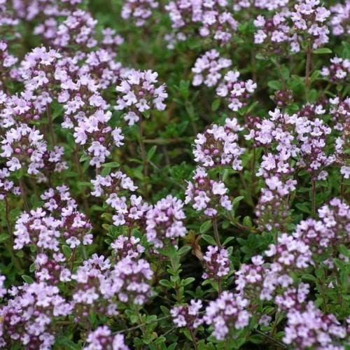 Thyme, common - Future Forests