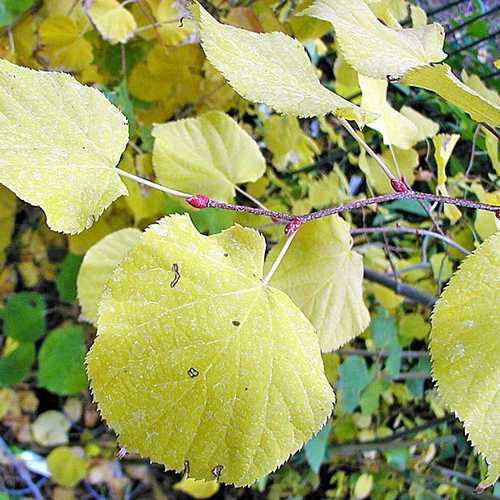 Tilia cordata Winter Orange - Future Forests